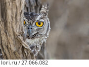 RF - Spotted eagle owl (Bubo africanus) looking out from tree trunk,  Kgalagadi Transfrontier Park, Northern Cape, South Africa, February. (This image... Стоковое фото, фотограф Ann  & Steve Toon / Nature Picture Library / Фотобанк Лори