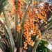 Бутия головчатая (Мармеладная пальма, Желейная пальма) на улице Адлера (Сочи), эксклюзивное фото № 27067214, снято 10 сентября 2017 г. (c) Александр Щепин / Фотобанк Лори
