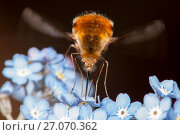 Купить «Large Bee-fly (Bombylius major) feeding on forget-me-not flowers, April, Bristol, UK», фото № 27070362, снято 27 мая 2018 г. (c) Nature Picture Library / Фотобанк Лори
