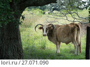 A charming cow with lowered horns stands behind a fence under a sprawling oak tree. Texas. Стоковое фото, фотограф Ирина Кожемякина / Фотобанк Лори