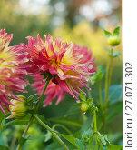 Купить «Георгин мокрый от дождя, фокус на цветке», эксклюзивное фото № 27071302, снято 8 октября 2017 г. (c) Svet / Фотобанк Лори