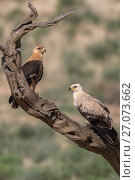 Купить «Tawny eagles (Aquila rapax), Kgalagadi Transfrontier Park, Northern Cape, South Africa.», фото № 27073662, снято 25 мая 2020 г. (c) Nature Picture Library / Фотобанк Лори
