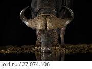 Купить «Cape buffalo (Syncerus caffer) at waterhole drinking at night, Zimanga Private Game Reserve, KwaZulu-Natal, South Africa.», фото № 27074106, снято 12 июля 2020 г. (c) Nature Picture Library / Фотобанк Лори