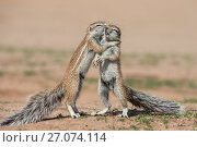Купить «Young ground squirrels (Xerus inauris) fighting, Kgalagadi Transfrontier Park, Northern Cape, South Africa, January.», фото № 27074114, снято 12 июля 2020 г. (c) Nature Picture Library / Фотобанк Лори