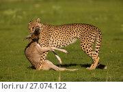 Купить «Cheetah (Acinonyx jubatus) with Wildebeest calf (Connochaetes taurinus) kill, Kgalagadi Transfrontier Park, Northern Cape, South Africa, January.», фото № 27074122, снято 12 июля 2020 г. (c) Nature Picture Library / Фотобанк Лори