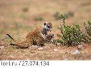 Купить «Meerkats (Suricata suricatta) playfighting, Kgalagadi Transfrontier Park, Northern Cape, South Africa, January.», фото № 27074134, снято 12 июля 2020 г. (c) Nature Picture Library / Фотобанк Лори