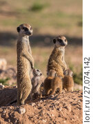 Купить «Meerkats (Suricata suricatta) with young, Kgalagadi Transfrontier Park, Northern Cape, South Africa, January.», фото № 27074142, снято 12 июля 2020 г. (c) Nature Picture Library / Фотобанк Лори