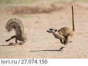 Купить «Meerkat (Suricata suricatta) running, Kgalagadi Transfrontier Park, Northern Cape, South Africa, January.», фото № 27074150, снято 12 июля 2020 г. (c) Nature Picture Library / Фотобанк Лори