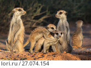 Купить «Meerkats (Suricata suricatta), Kgalagadi Transfrontier Park, Northern Cape, South Africa, January.», фото № 27074154, снято 25 мая 2020 г. (c) Nature Picture Library / Фотобанк Лори