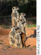 Купить «Meerkats (Suricata suricatta), Kgalagadi Transfrontier Park, Northern Cape, South Africa, January.», фото № 27074162, снято 25 мая 2020 г. (c) Nature Picture Library / Фотобанк Лори