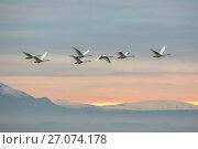 Купить «Whooper swans (Cygnus cygnus), flying at sunset, Caerlaverock Wildfowl & Wetland Trust WWT, Dumfries & Galloway, Scotland, November 2016», фото № 27074178, снято 4 августа 2020 г. (c) Nature Picture Library / Фотобанк Лори