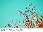 Купить «Autumn background. Branches of autumn rowan berry tree against blue sky with free space for text.», фото № 27075894, снято 12 октября 2015 г. (c) Зезелина Марина / Фотобанк Лори