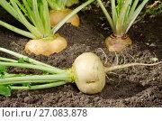 Купить «Репа растет на огороде», фото № 27083878, снято 5 августа 2017 г. (c) Елена Коромыслова / Фотобанк Лори