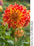 Купить «Огненно оранжевый красивый цветок георгина (лат. Dаhlia)», эксклюзивное фото № 27084322, снято 8 октября 2017 г. (c) Svet / Фотобанк Лори