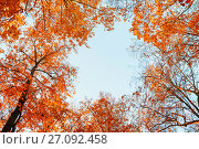 Купить «Autumn trees. Orange autumn treetops against blue sky. Autumn natural view of autumn trees», фото № 27092458, снято 9 октября 2016 г. (c) Зезелина Марина / Фотобанк Лори