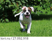 Купить «American bulldog puppy running outdoors», фото № 27092918, снято 9 августа 2017 г. (c) Алексей Кузнецов / Фотобанк Лори