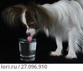 Купить «Beautiful young male dog Continental Toy Spaniel Papillon drinks clean water from a glass on black background», фото № 27096910, снято 9 октября 2017 г. (c) Юлия Машкова / Фотобанк Лори