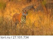 Купить «Bengal tiger (Panthera tigris) tigress Noor hunting , Ranthambhore, India», фото № 27101734, снято 20 февраля 2020 г. (c) Nature Picture Library / Фотобанк Лори