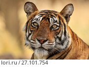 Купить «Bengal tiger (Panthera tigris) tigress 'Noor' ,Ranthambhore, India», фото № 27101754, снято 22 июля 2018 г. (c) Nature Picture Library / Фотобанк Лори