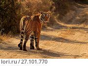 Купить «Bengal tiger (Panthera tigris) tigress 'Arrowhead' on road , Ranthambhore, India», фото № 27101770, снято 22 июля 2018 г. (c) Nature Picture Library / Фотобанк Лори
