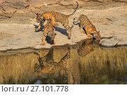 Купить «Bengal tiger (Panthera tigris) cubs age three months playing , Ranthambhore, India», фото № 27101778, снято 21 марта 2018 г. (c) Nature Picture Library / Фотобанк Лори