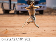 Verreaux's sifaka (Propithecus verreauxi) running across a road with bus in background, Berenty Private Reserve, southern Madagascar, August 2016. Стоковое фото, фотограф David  Pattyn / Nature Picture Library / Фотобанк Лори