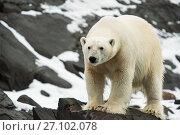 Купить «Polar bear (Ursus maritimus) on rocks, Karl XII-oya, Svalbard, Norway, September.», фото № 27102078, снято 18 августа 2018 г. (c) Nature Picture Library / Фотобанк Лори
