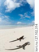 Купить «Marine iguana (Amblyrhynchus cristatus) two on beach, Santa Cruz Island, Galapagos.», фото № 27102314, снято 21 августа 2019 г. (c) Nature Picture Library / Фотобанк Лори