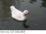 Portrait of a white goose. Стоковое фото, фотограф Argument / Фотобанк Лори