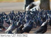 Купить «A lot of pigeons on the sunny city street», фото № 27103562, снято 3 октября 2017 г. (c) Константин Шишкин / Фотобанк Лори