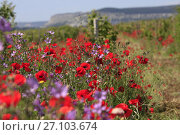 Купить «Цветущие поля весной в Крыму», фото № 27103674, снято 29 мая 2017 г. (c) Яна Королёва / Фотобанк Лори