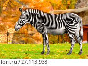 Купить «Grevy zebra (Equus grevyi), also known as imperial zebra in Indian summer», фото № 27113938, снято 17 октября 2017 г. (c) Валерия Попова / Фотобанк Лори