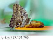 Купить «Бабочка-сова (Caligo Memnon)», фото № 27131766, снято 3 июня 2017 г. (c) Татьяна Белова / Фотобанк Лори