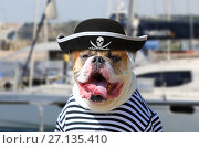 Купить «American Bulldog dressed in a pirate clothing», фото № 27135410, снято 9 августа 2017 г. (c) Алексей Кузнецов / Фотобанк Лори