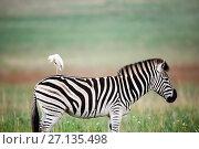 Купить «RF - Cattle egret (Bubulcus ibis) bird on back of Burchell's zebra (Equus quagga burchellii) Rietvlei Nature Reserve, South Africa.», фото № 27135498, снято 18 июня 2019 г. (c) Nature Picture Library / Фотобанк Лори