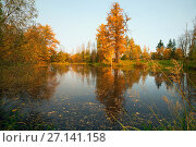 Купить «Yellow larch illuminated by the sun on the shore of the pond», фото № 27141158, снято 17 октября 2017 г. (c) Алексей Маринченко / Фотобанк Лори