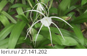 Купить «Hymenocallis beautiful tropical flower in park stock footage video», видеоролик № 27141202, снято 7 сентября 2017 г. (c) Юлия Машкова / Фотобанк Лори