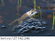 Купить «Остромордая лягушка, или болотная лягушка (лат. Rana arvalis) на поверхности воды охраняет свою кладку икры», фото № 27142246, снято 23 апреля 2017 г. (c) Григорий Писоцкий / Фотобанк Лори