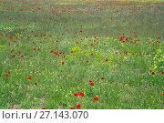Купить «poppy flowers on uncultivated field», фото № 27143070, снято 12 мая 2016 г. (c) Яков Филимонов / Фотобанк Лори