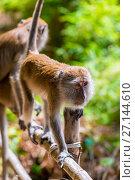 Купить «two monkeys on a fence, Krabi, Thailand», фото № 27144610, снято 8 ноября 2016 г. (c) Константин Лабунский / Фотобанк Лори