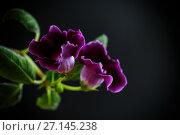 Купить «Beautiful blooming flower violet», фото № 27145238, снято 17 июня 2017 г. (c) Peredniankina / Фотобанк Лори