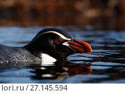 Купить «Snares crested penguin (Eudyptes robustus), Snares (Tine Heke) Sub Antarctic Island Group, Southern Ocean, New Zealand. December 2016.», фото № 27145594, снято 22 июля 2018 г. (c) Nature Picture Library / Фотобанк Лори