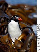 Купить «Snares crested penguin (Eudyptes robustus) amongst Bull Kelp (Durvillaea sp.), Subantarctic Snares Islands (Tine Heke), New Zealand. January.», фото № 27145610, снято 22 ноября 2017 г. (c) Nature Picture Library / Фотобанк Лори