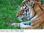 Купить «Тигр амурский лежит на зеленой траве (голова в профиль крупным планом)», эксклюзивное фото № 27154162, снято 25 сентября 2015 г. (c) Щеголева Ольга / Фотобанк Лори