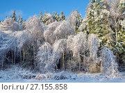 Купить «Зимний лес. Березки склонились после ледяного дождя», эксклюзивное фото № 27155858, снято 15 ноября 2016 г. (c) Елена Коромыслова / Фотобанк Лори