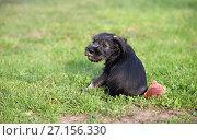 Mittelschnauzer puppy on green grass. Стоковое фото, фотограф Serg Zastavkin / Фотобанк Лори