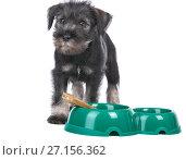 Mittelschnauzer puppy isolated on white background dog near bowl with bone. Стоковое фото, фотограф Serg Zastavkin / Фотобанк Лори