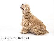 Купить «American Cocker Spaniel», фото № 27163774, снято 31 октября 2017 г. (c) Андрей Скат / Фотобанк Лори