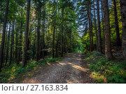 dirt road in summer pine forest. Стоковое фото, фотограф Михаил Коханчиков / Фотобанк Лори