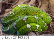 Купить «Green tree python snake», фото № 27163838, снято 21 июня 2017 г. (c) Михаил Коханчиков / Фотобанк Лори